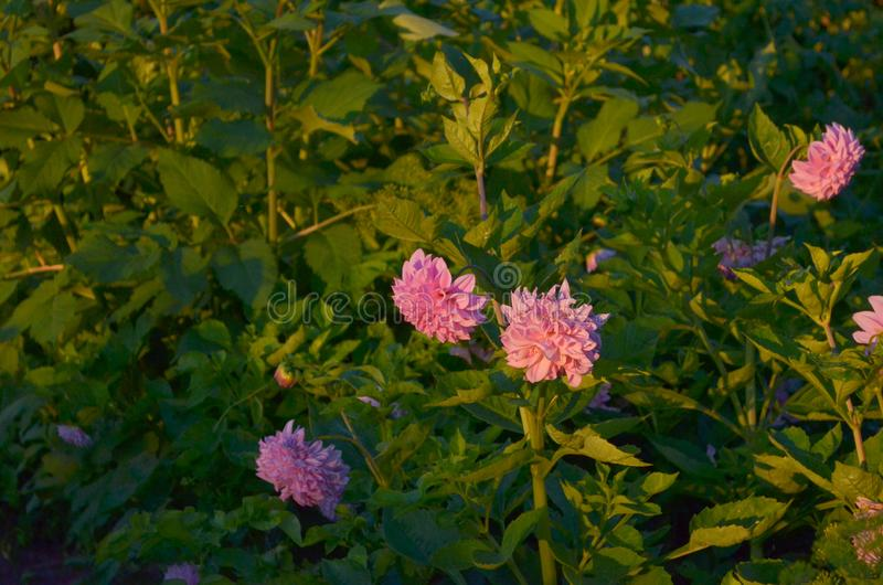 Lots of pink dahlias flowers. Evening time stock image