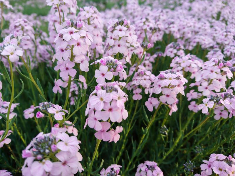 Lots of pink purple flowers macro nice nature background stock photos