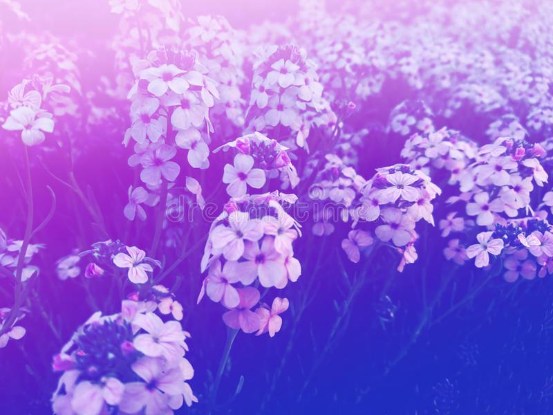 Lots of pink purple flowers macro nice nature background royalty free stock photo