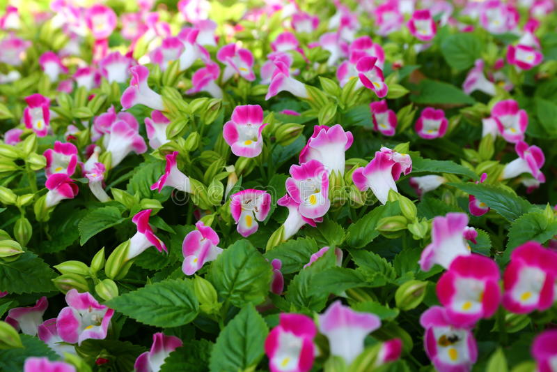 Lots of pink Violas. At spring garden nursery stock image