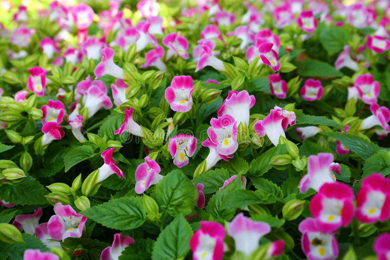 Lots of pink Violas. At spring garden nursery royalty free stock images