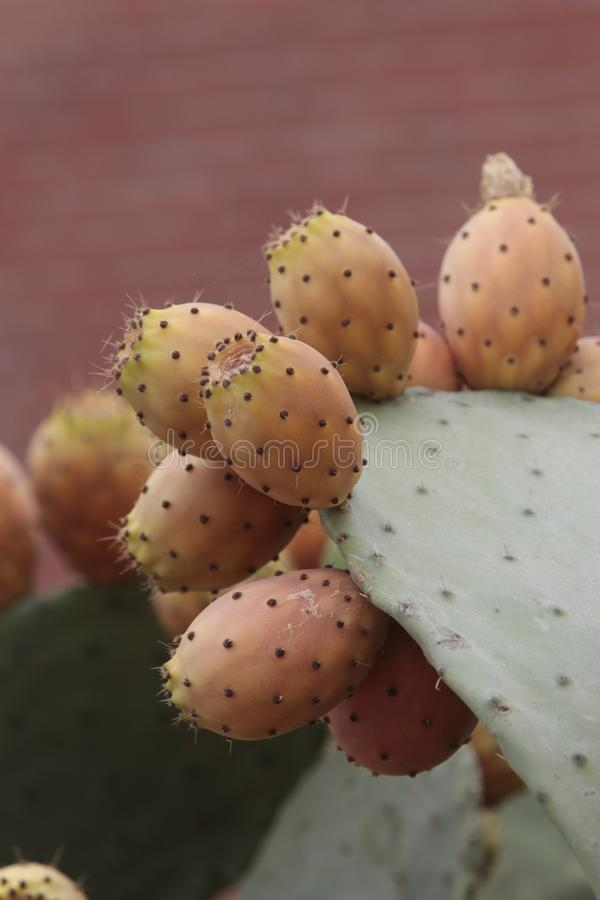 Lots of prickly pears in a prickly pear royalty free stock photo