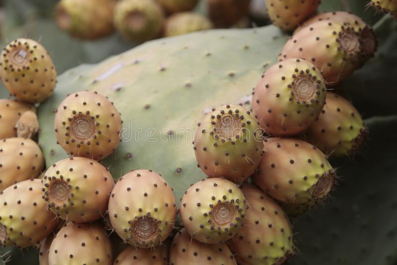 Lots of prickly pears in a prickly pear stock photography