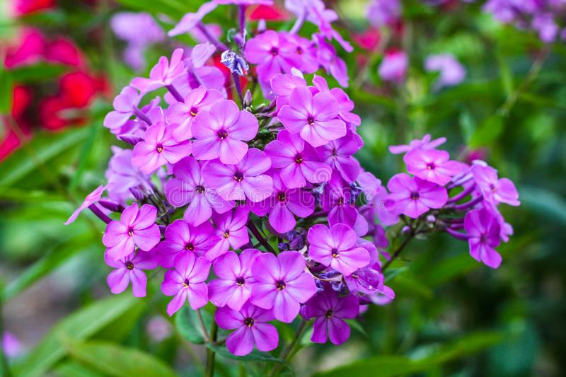 Lots of purple little flowers royalty free stock images