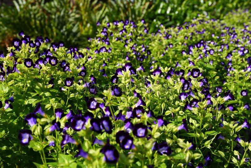 Lots of Purple Violas stock photos