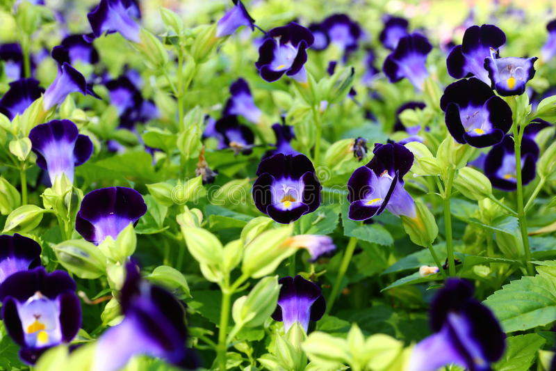 Lots of Purple Violas. At spring garden nursery stock photo