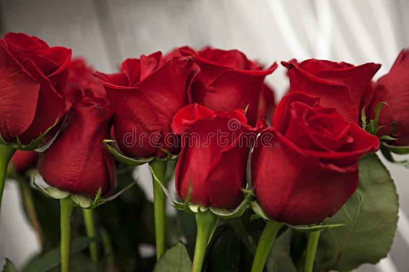 Lots of red roses for Valentine`s Day stock images