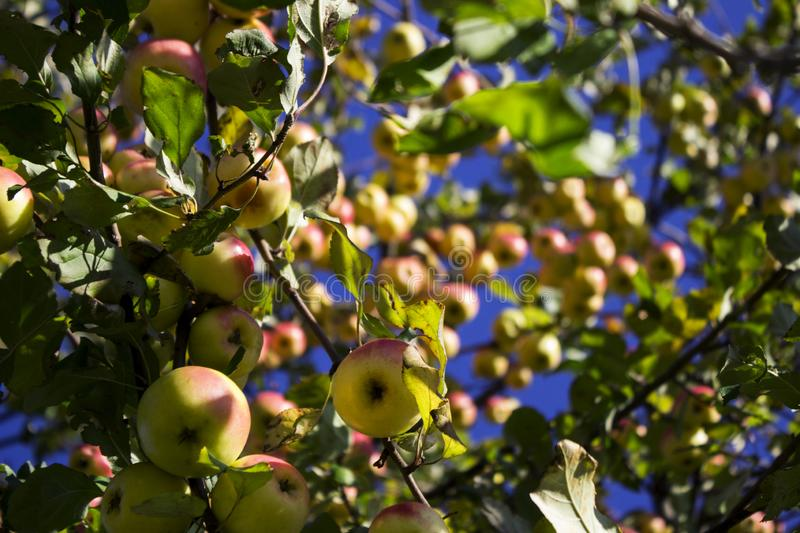 Lots of ripe green and red apples hanging on the Apple tree in t stock photo