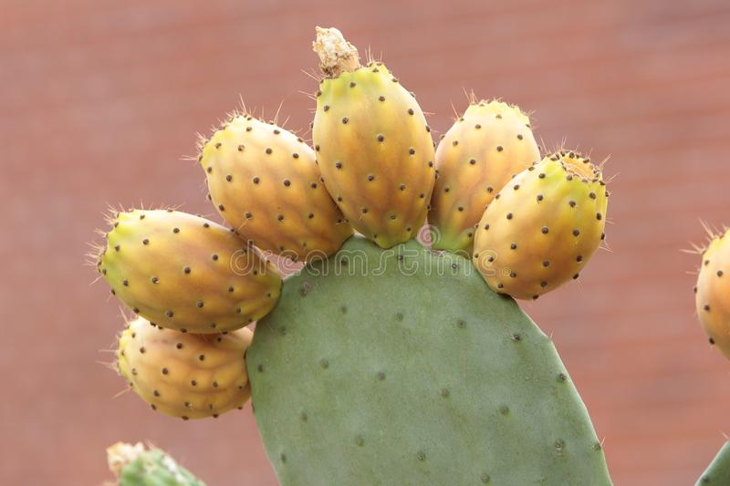 Lots of prickly pears in a prickly pear royalty free stock photos