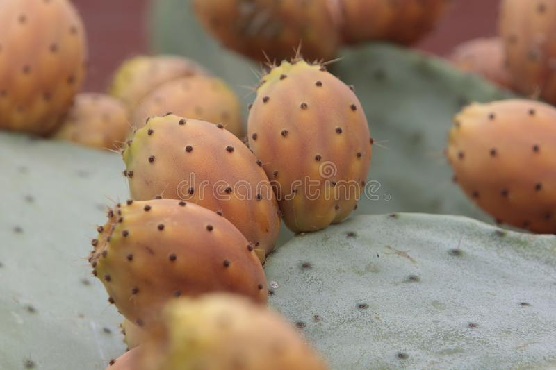 Lots of prickly pears in a prickly pear royalty free stock image