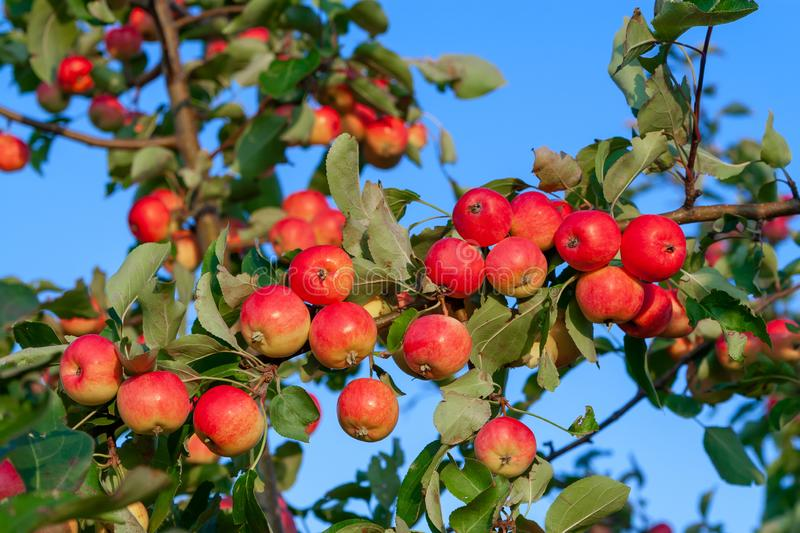 Lots of ripe red delicious apples on branch, close up.  royalty free stock photography
