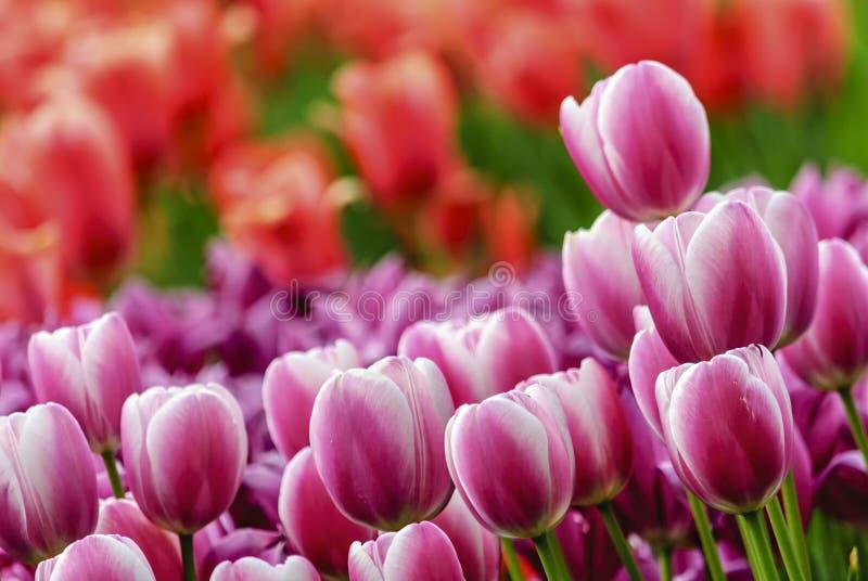 Lots rosafarbene Tulpen lizenzfreie stockfotos
