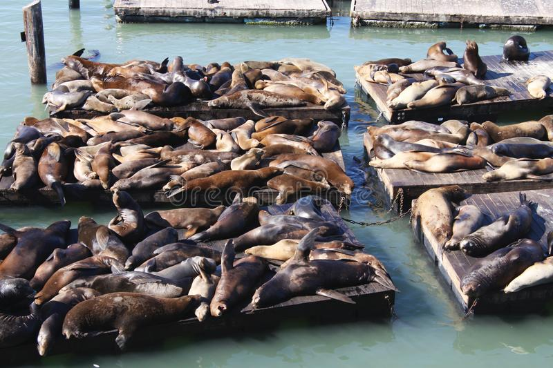 Lots of seals lying in a pile at San Francisco harbor Pier 39 stock photography