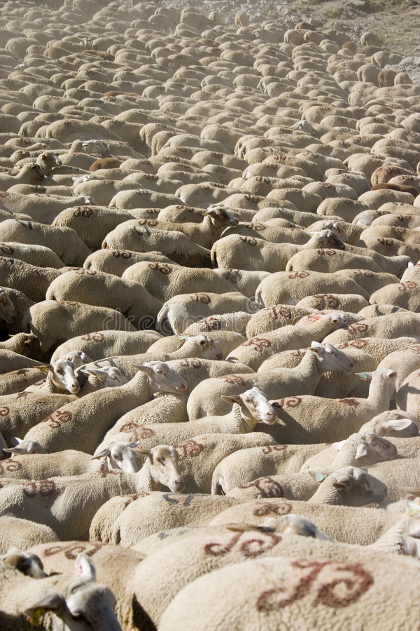 Lots of sheep royalty free stock photos