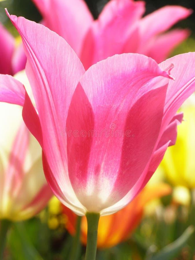 Lots of tulips stock photo