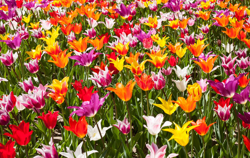Lots of tulips in different colors royalty free stock images