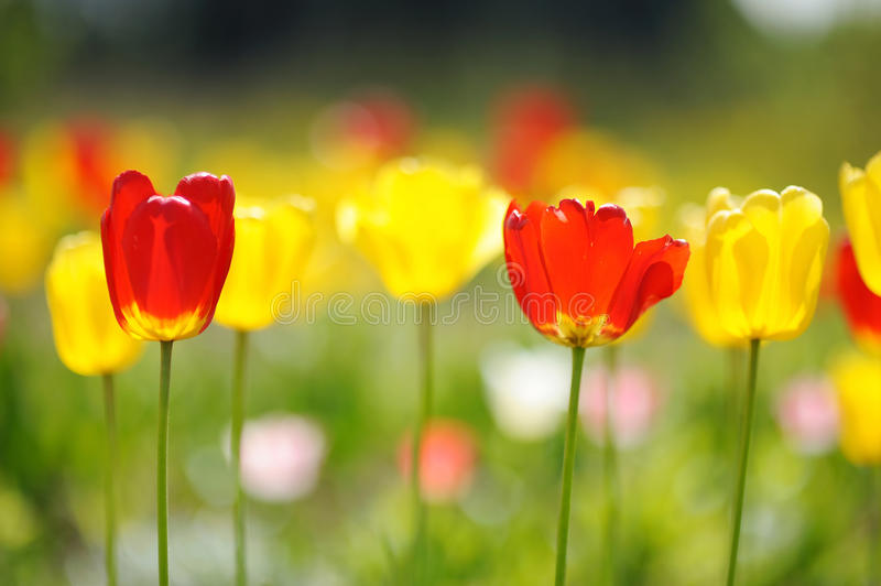 Lots of tulips during a springtime stock images