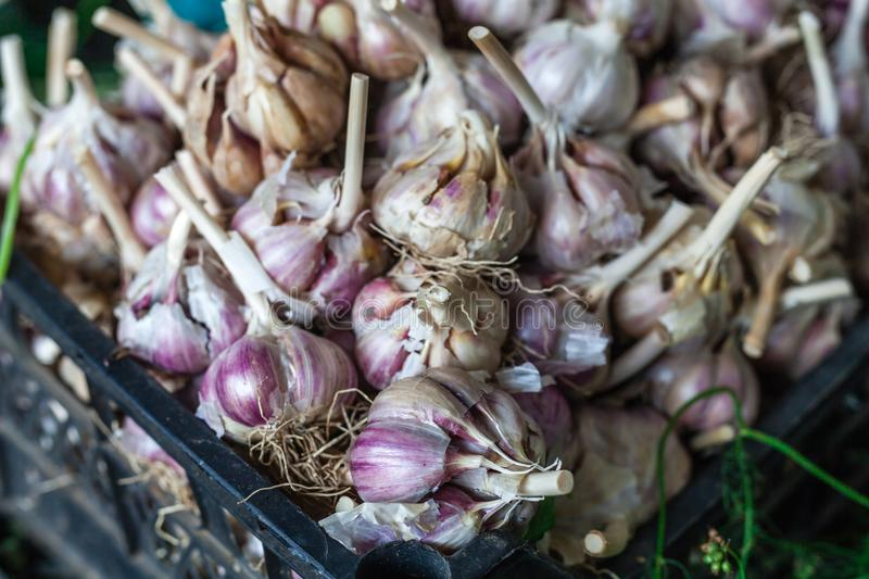 Lots of white purple Italian garlic bulbs on display for sale at an outdoor farmers market stock photography