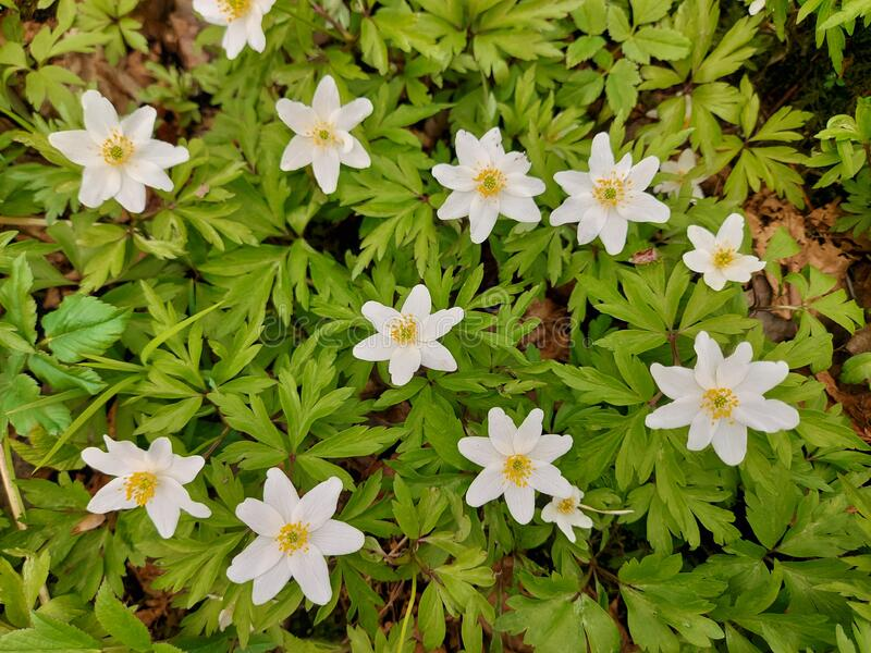 White windflowers royalty free stock photography