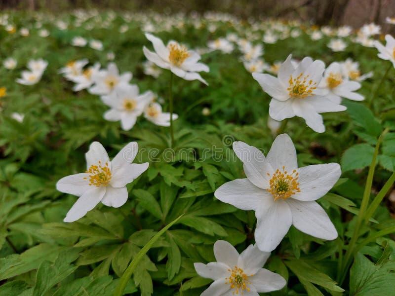 White wood anemones royalty free stock photos