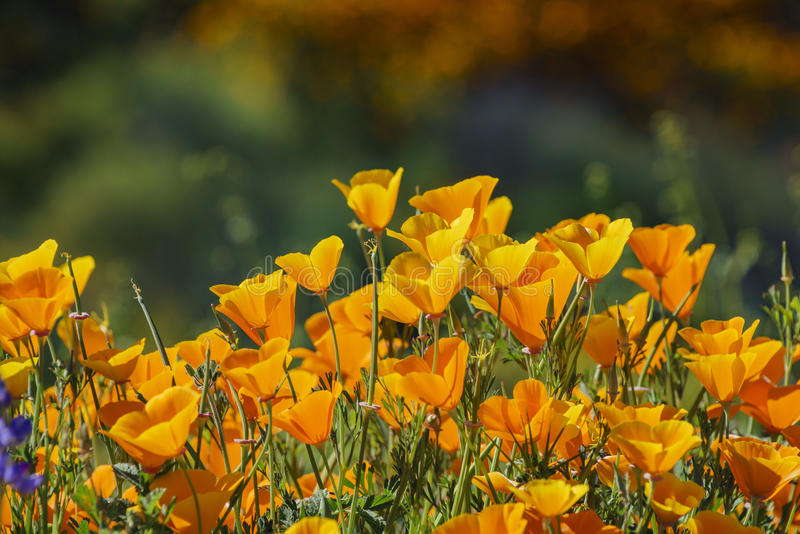 Lots of wild flower blossom at Diamond Valley Lake stock photo