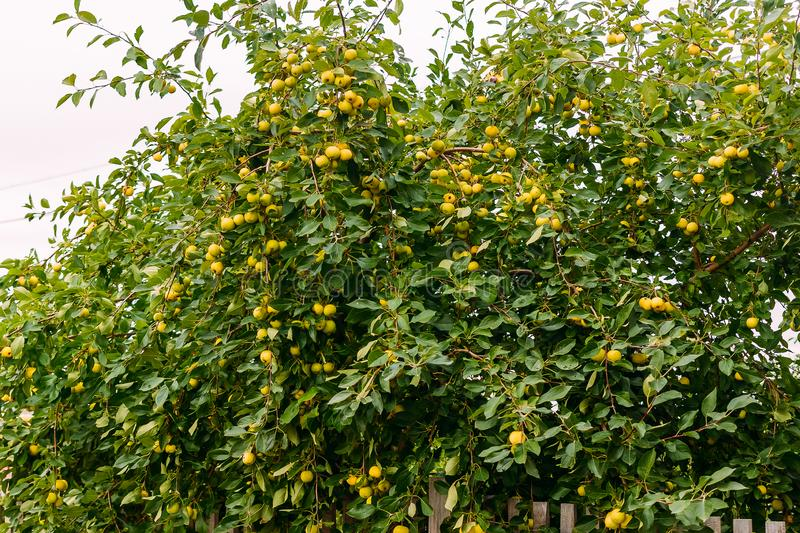 Lots of yellow apples on the apple tree stock photography
