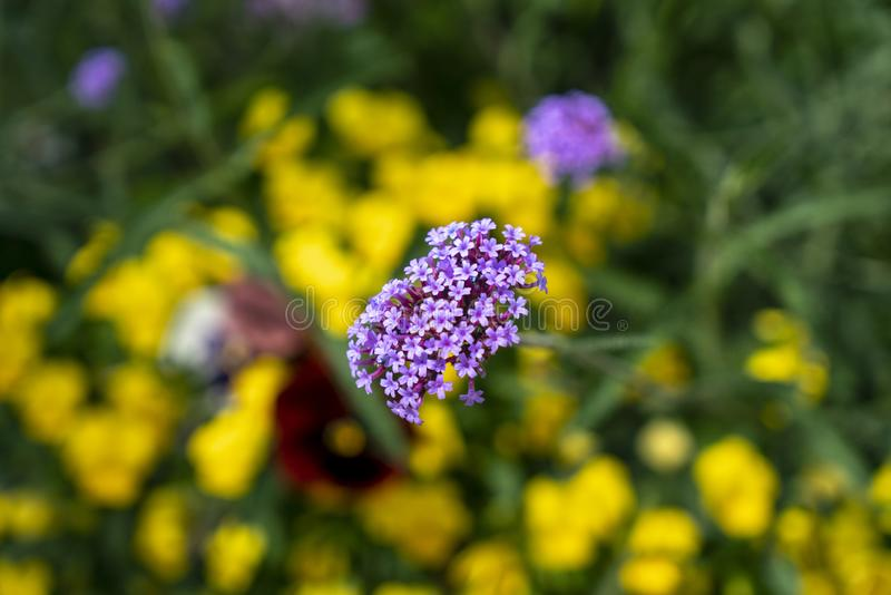 Verbena Flowers with Yellow bokeh. Lots of yellow bokeh in the background and purple flowers great for a royalty free stock photography