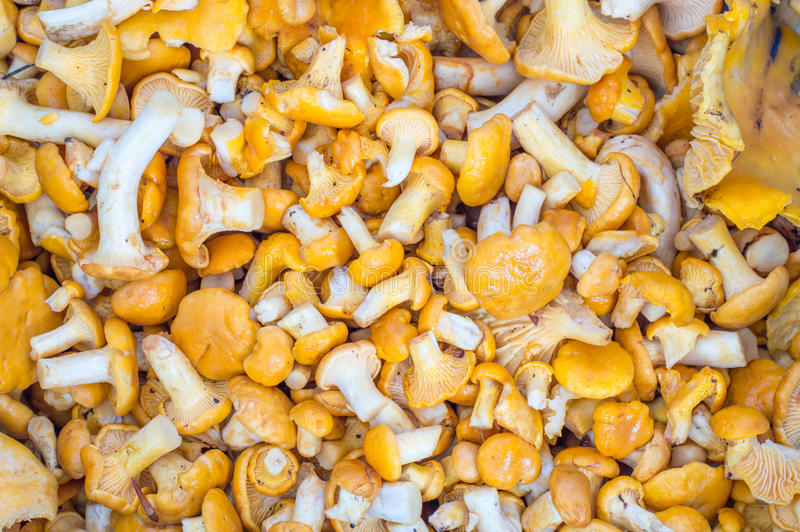 A lots yellow chanterelle mushrooms as background. stock photo