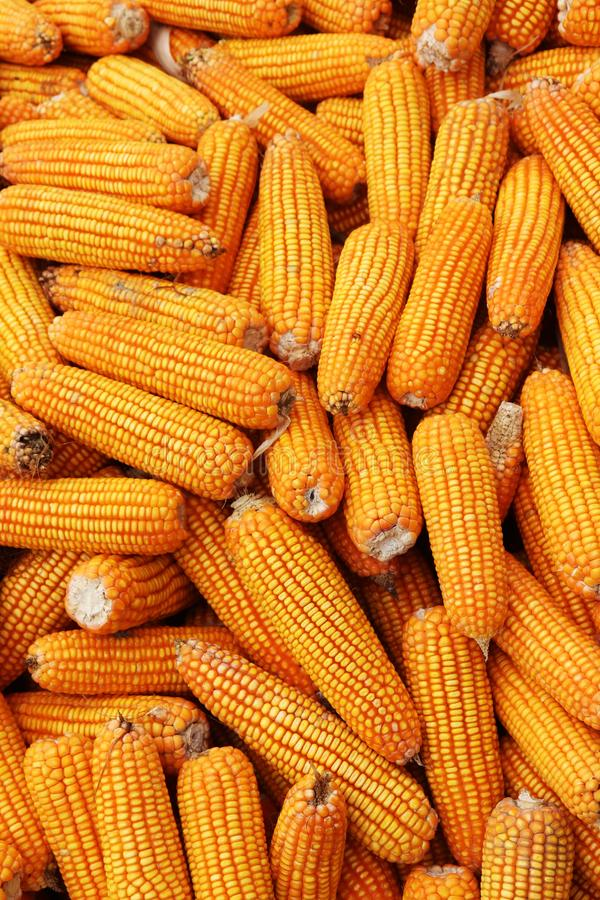 Lots of Yellow Corns. Fresh Corns as Background stock photo