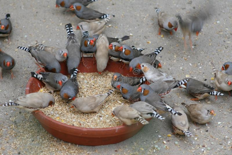 Zebra finches, birds, feeding on seeds. Lots of zebra finches, eating seeds from a scale, plate, lots of birds feeding on a plate stock photos