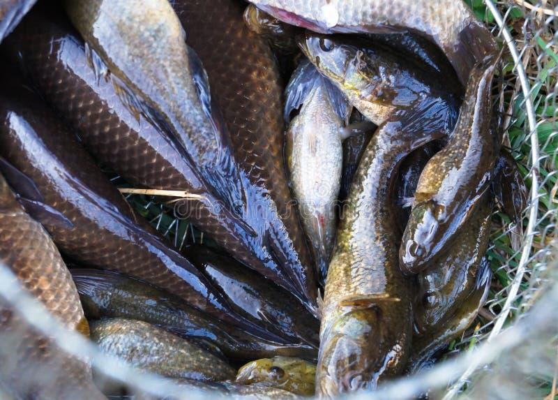 lott av fisken som fångas på fiske i rastret arkivbild