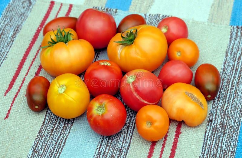Lott av mogna röda och orange tomater över bästa sikt för colorulbandtyg royaltyfria bilder