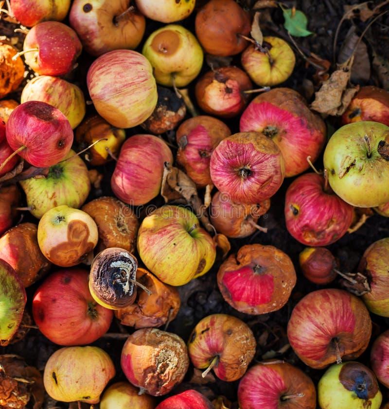 Lott av ruttna äpplen som ligger på jordningen royaltyfri fotografi