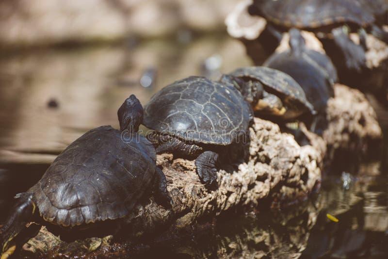 Lott av sköldpaddor arkivfoton