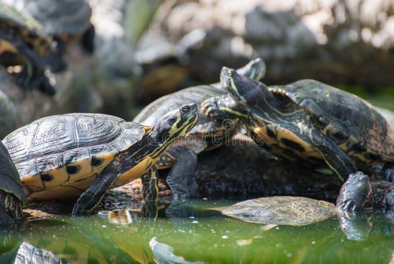 Lott av sköldpaddor royaltyfri bild