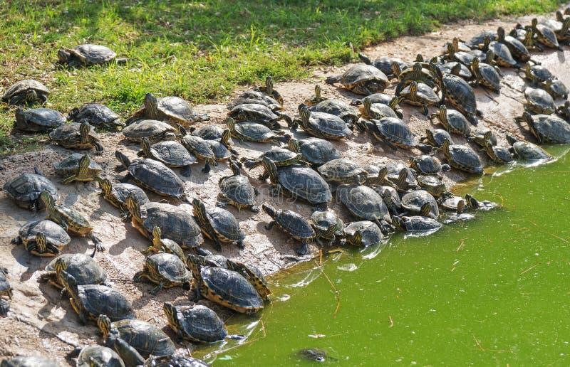 Lott av sköldpaddor arkivbild