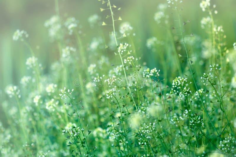 Lott av små vita blommor i äng royaltyfri bild