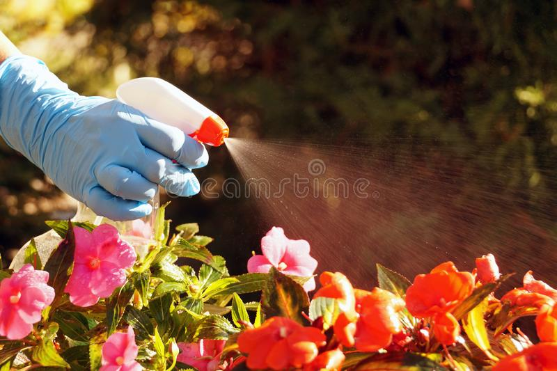 Lotta contro le malattie e gli insetti che attaccano le piante con irrorazione Lavatrice a mano in azione immagine stock