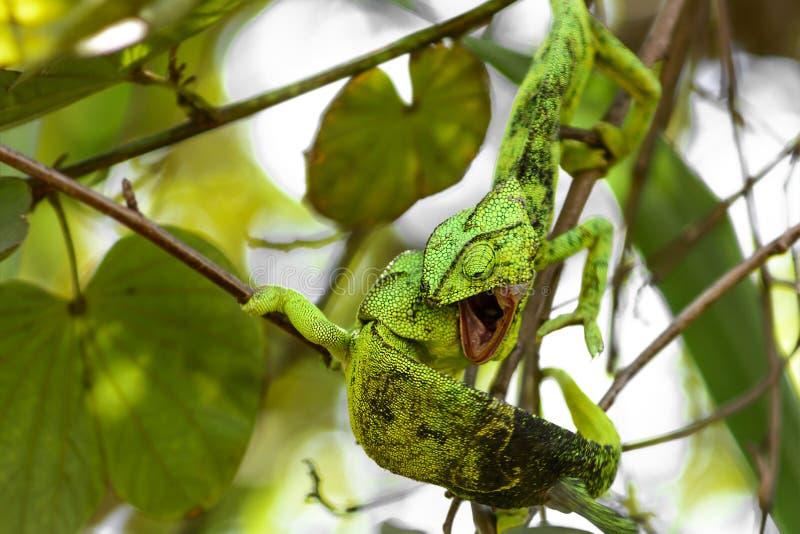 Download Lotta del camaleonte fotografia stock. Immagine di albero - 56885958