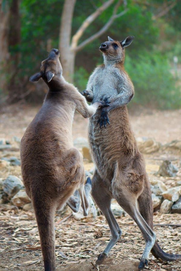 Lotta del canguro fotografie stock libere da diritti