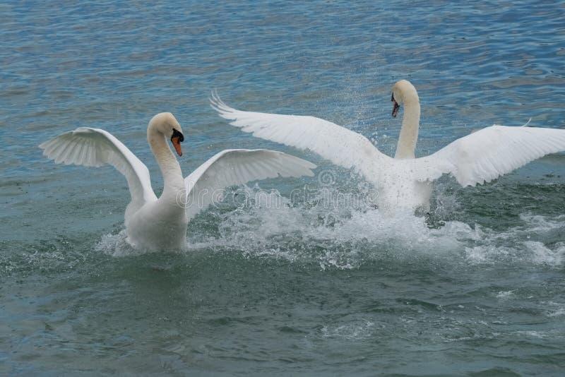 Lotta del cigno - il lago Lemano - Svizzera fotografie stock libere da diritti