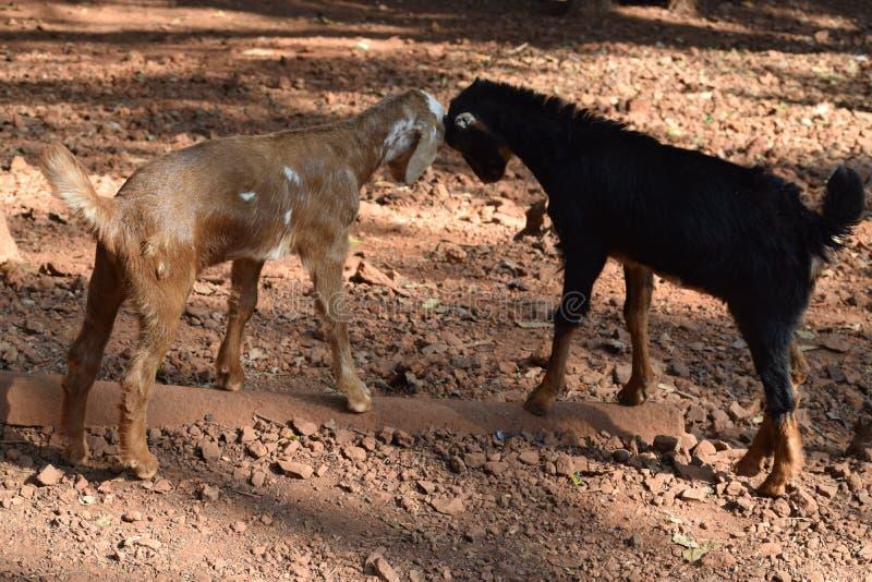 lotta delle capre come gioco fotografia stock