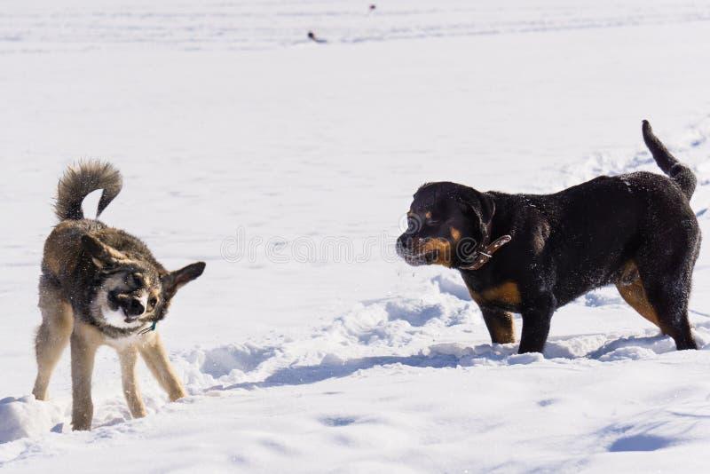 Lotta di cane nell'inverno immagine stock
