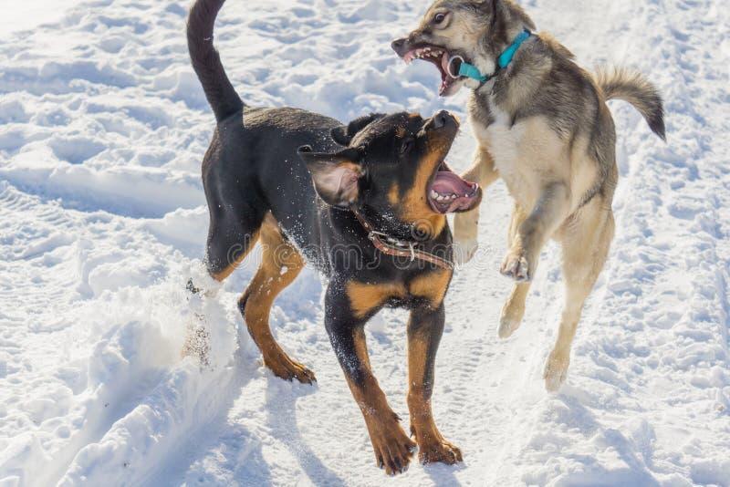 Lotta di cane nell'inverno fotografie stock libere da diritti