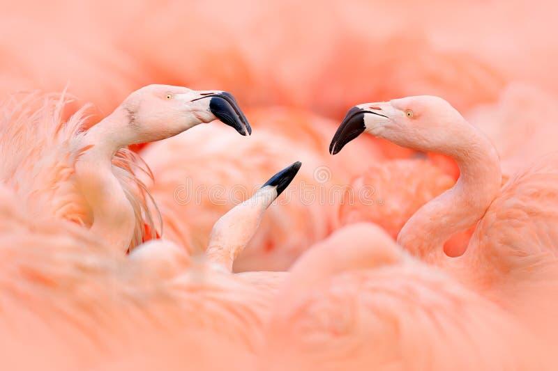 Lotta di Flaningo Fenicottero americano, rubernice di Phoenicopterus, grande uccello rosa, ballante in acqua, animale nell'habita fotografia stock libera da diritti