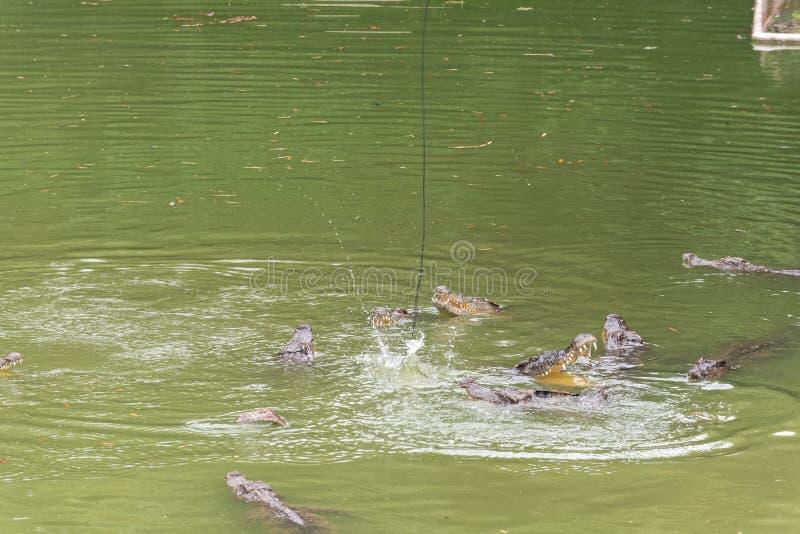 Lotta per il siamensis del alimento-coccodrillo-Crocodylus fotografia stock libera da diritti