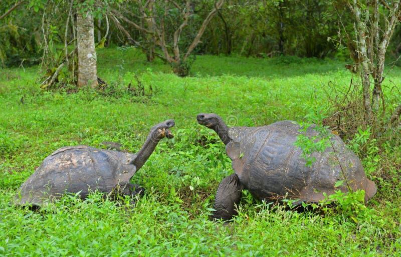 Lotta territoriale della tartaruga gigante di Galapagos, Ecuador fotografia stock libera da diritti