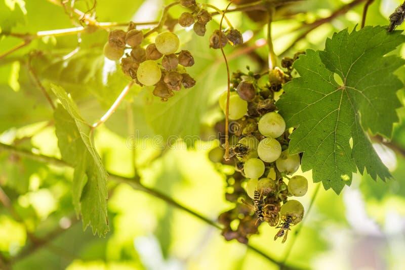 Lotti degli insetti che volano e che mangiano sull'uva che appende sulla rovina della vite fotografia stock libera da diritti