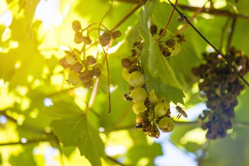 Lotti degli insetti che volano e che mangiano sull'uva che appende sulla rovina della vite fotografie stock libere da diritti