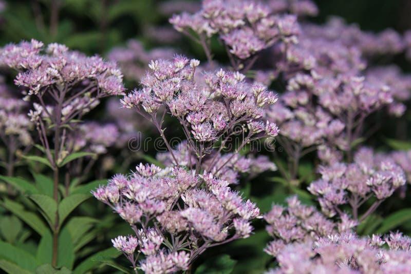 Lotti dei fiori porpora sui gambi lunghi immagini stock
